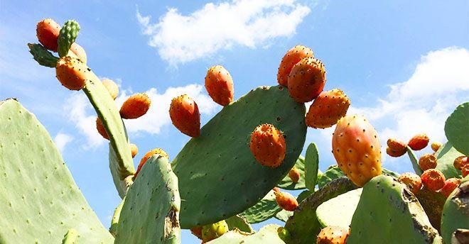 succo di foglie di fico dindia
