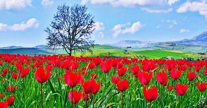 Un prato di tulipani spontanei in Sicilia: la distesa di fiori a Blufi